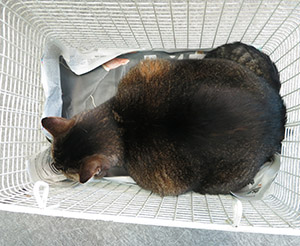 Abyssinian Cat Weight